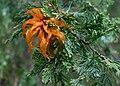 Gymnosprangium rust on a juniper tree.jpg