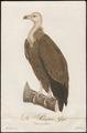 Gyps fulvus - 1800-1812 - Print - Iconographia Zoologica - Special Collections University of Amsterdam - UBA01 IZ18100077.tif