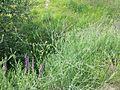 Gypsophila paniculata sl41.jpg