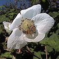 H20140814-3369—Rubus parviflorus—RPBG (14827811178).jpg