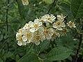 H20150507-0022—Prunus virginiana var demissa (with Diabrotica undecimpunctata tenella (Western cucumber beetle))—RPBG (16954705054).jpg