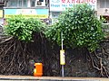 HK Sai Ying Pun ML 般咸道 Bonham Road trees Aug 2016 DSC 005.jpg