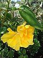 HK Shatin Tai Chung Kiu Road yellow flower Sept-2012.JPG