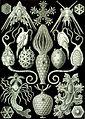 Haeckel Amphoridea.jpg