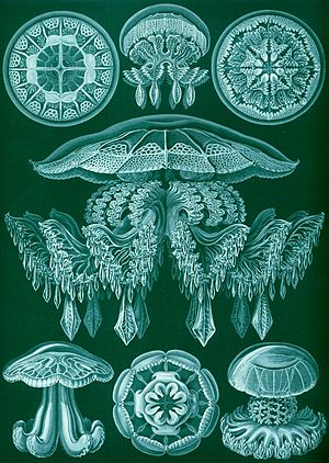 Discomedusae - Image: Haeckel Discomedusae 88