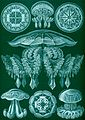 Haeckel Discomedusae 88.jpg