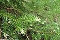 Halocarpus kirkii kz3.jpg