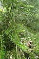 Halocarpus kirkii kz6.jpg