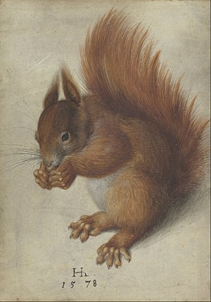 Hans Hoffmann (painter) - Red Squirrel (1528), watercolor on parchment, 32.5 x 25.6 cm. National Gallery of Art
