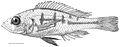 Haplochromis argens male holotype, RMNH.PISC.83588) - ZooKeys-256-001-g002.jpeg