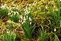 Harridge Woods Snowdrops.jpg