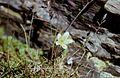 Hautes-Alpes Vieux Chaillol Fleurs 081990 - panoramio (3).jpg