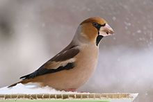 Hawfinch (Coccothraustes coccothraustes) in Vitebsk 01.jpg
