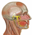 Head deep facial trigeminal.png