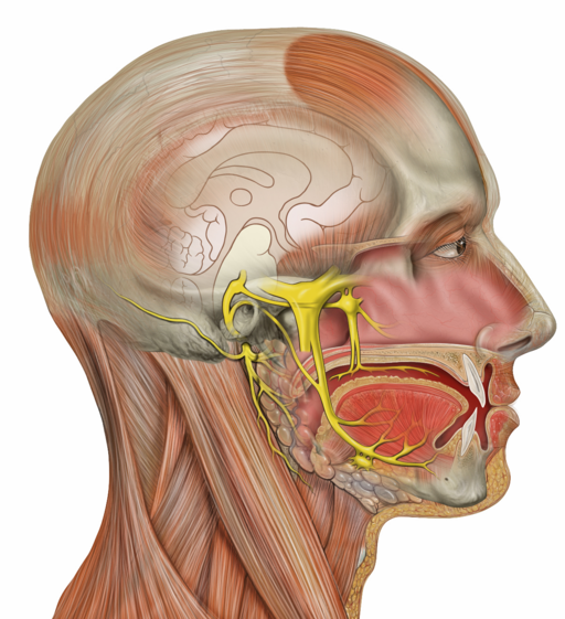 Head deep facial trigeminal