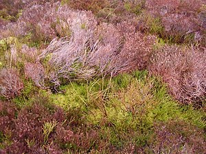 English: Heath ground-cover On a winter's day ...
