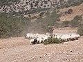Heep and goats at Kalandos Naxos Greece DSCN1148.jpg