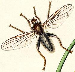 Helcomyzidae