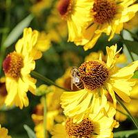 H. autumnale, solbrud