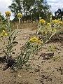 Helichrysum arenarium Sand-Strohblume 160703-1094 TegelFließ SOOCx.jpg