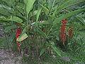 Heliconia var pogonantha20020311.JPG
