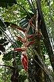 Heliconia vellerigera (Heliconiaceae) (29657244664).jpg