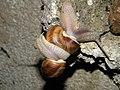 Helix pomatia (3704888093).jpg