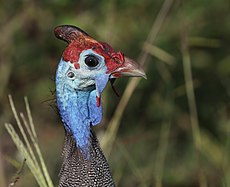 Helmeted guineafowl (Numida meleagris damarensis) head.jpg