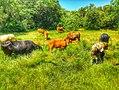 Herd of cows.jpg
