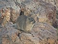Hermanus - Rock Hyrax - panoramio.jpg
