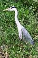 Heron (5836180634).jpg