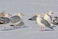 """Herring Gull (Larus argentatus) """"Dark-eye Variant"""" (16488898679).jpg"""