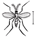 Hessian-fly-(PSP).png
