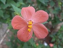 Hibiscus wikipedia hibiscus hirtus ccuart Images