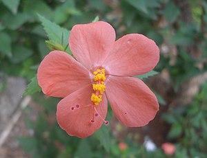 Hibiscus - Hibiscus hirtus