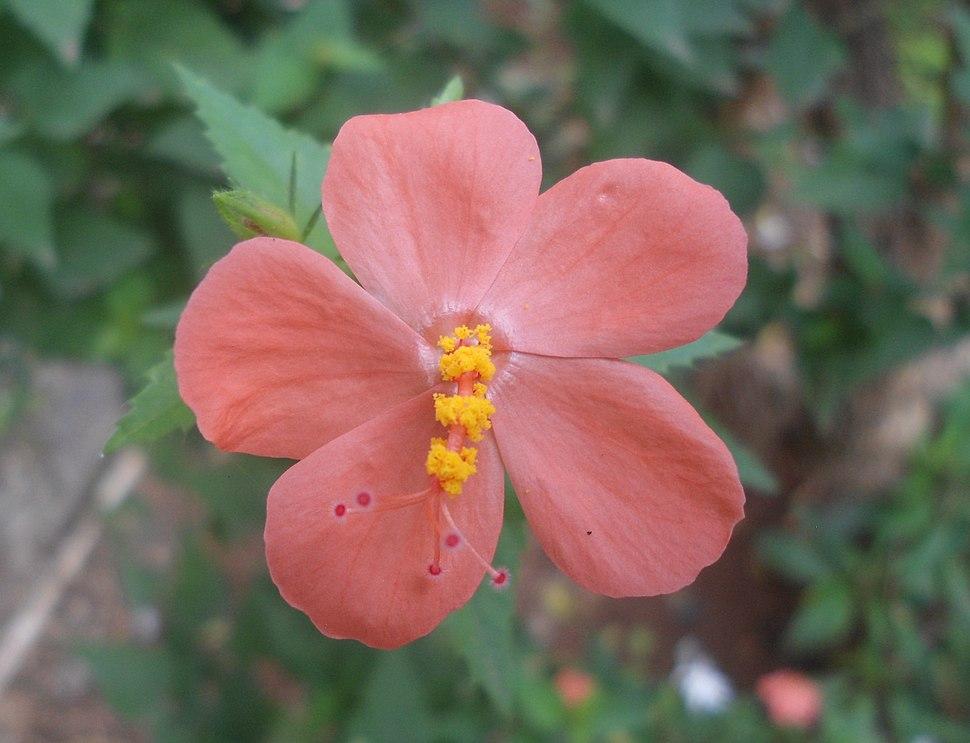 Hibiscus hirtus Lesser Mallow flower Yeleswaram EastGodavari