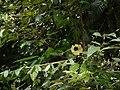 Hibiscus hispidissimus (16010028488).jpg