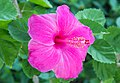 Hibiscus pink 1.jpg