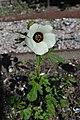 Hibiscus trionum L.jpg