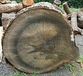 Hillview Farms large tree section showing rings.jpg