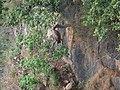 Himalayan Griffon (Himalayan Vulture) - Gyps himalayensis - P1040549.jpg