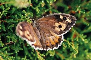 Grayling (butterfly) - Female
