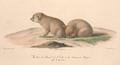 Histoire naturelle des mammifères, t. 3 (1824) Canis anthus x aureus.png