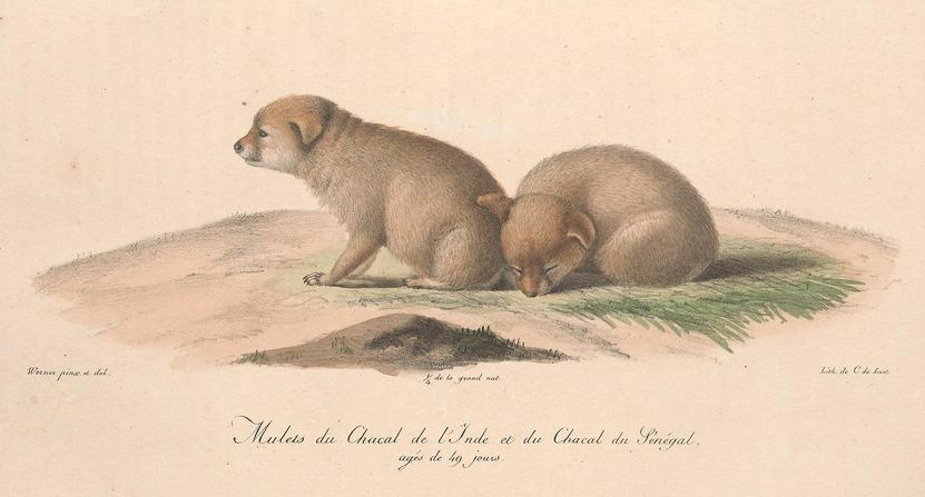 Histoire naturelle des mammifères, t. 3 (1824) Canis anthus x aureus