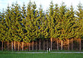 Hochgewachsene Nadelbaumhecke bei Hohenfurch.JPG