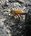 Honeybee on Manukau Breccia.jpg