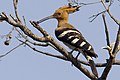 Hoopoe by N.A. Nazeer.jpg