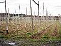 Hop Field near Little Scotney Farm - geograph.org.uk - 1197539.jpg