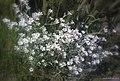 Hopeahärkki - Dusty Miller (Cerastium tomentosum) - panoramio.jpg
