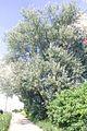 Hopeapoppeli 2.jpg